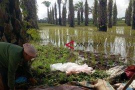 Program cetak sawah baru di Mukomuko, 100 hektare lahan telah ditanami padi