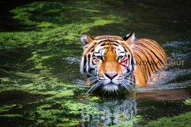 Warga Indragiri Hilir kembali jadi korban keganasan harimau
