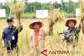 Wabup Bangka panen padi rawa di Desa Saing