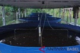 Dinas perikanan Bangka Tengah fokus kembangkan budi daya lele bioflok