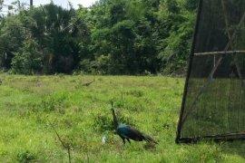 BKSDA Yogyakarta Lepasliarkan 10 Ekor Merak Hijau di Taman Nasional Alas Purwo