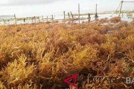 Bupati: rumput laut Nusa Penida masih potensial