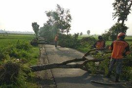 Hujan Deras dan Angin Kencang Picu Pohon Tumbang di Kabupaten Kediri