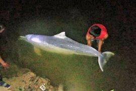Seekor lumba-lumba putih di Sungai Kualuh ditemukan mati