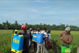Tanaman padi di Langkat diserang hama wereng