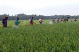 220 hektare padi di Langkat diserang hama wereng coklat