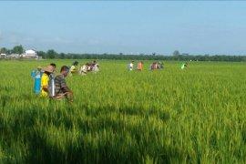 Ratusan hektare padi di Teluk Meku Langkat diserang hama