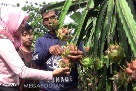 Kampung Cigadog jadi sentra agrowisata buah naga