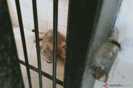 Tim dokter hewan periksa kesehatan singa Taman Rimba Jambi