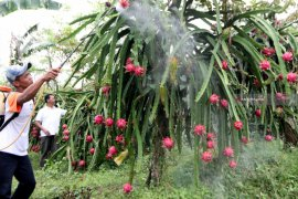 PLN dorong peningkatan penghasilan petani buah naga Banyuwangi