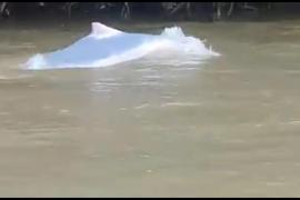 Ini video keberadaan lumba-lumba putih di Sungai Kualuh