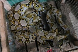 KSDA Lhokseumawe terima ular sanca batik dari PT PAG