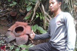 BKSDA: Rejang Lebong termasuk habitat rafflesia