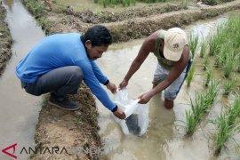 Sebagian ikan program mina padi di Mukomuko mati
