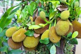 Bengkulu Selatan ubah desa rawan pangan menjadi lumbung nangka