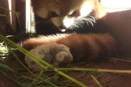 Panda merah pertama Indonesia lahir di Bogor