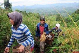 Tradisi Padi Halus, Bercocok Tanam di Ketinggian 800 mdpl (FOTO) Page 2 Small