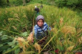 Tradisi Padi Halus, Bercocok Tanam di Ketinggian 800 mdpl (FOTO) Page 3 Small