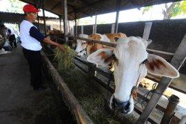 Mukomuko kembali gulirkan puluhan sapi bantuan pemerintah