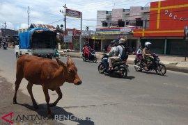Tiga ekor sapi berkeliaran akibatkan kecelakaan di Rawa Makmur