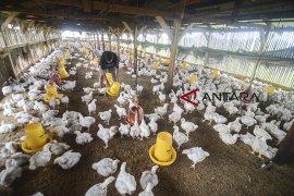 85 kelompok santri tani milenial di Cirebon dapat bantuan ayam ternak