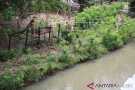 S Kalimantan govt to bring back 20 bekantan from Surabaya Zoo