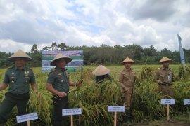 Wabup Bangka - Danrem panen padi sawah di Banyuasin