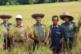 """TNI """"Sergap"""" petani yang sedang panen di HST"""