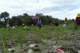 Landak kembangkan varietas padi lokal