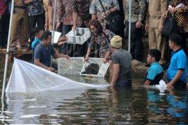 Menteri Susi tebar lobster di Danau Kerinci