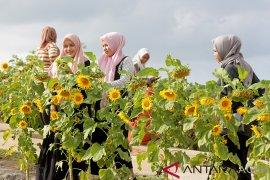 Wisata taman bunga matahari