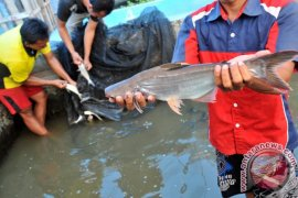 Petani Mukomuko kembangkan ikan patin air payau