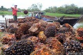 Minyak sawit mentah Jambi alami penurunan harga signifikan periode 8-14 Mei