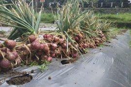 Mahasiswa Polbangtan Bogor panen bawang merah