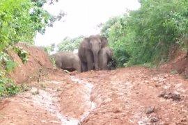 Kawanan Gajah Liar Page 1 Small
