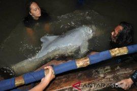 Lumba-lumba putih dari Labuhanbatu Utara dilepasliarkan di Asahan