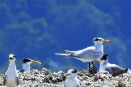 BKSDA-BirdLife tandai burung dara laut