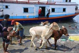 KSOP Situbondo pastikan tidak ada lagi bongkar muat sapi dilempar ke laut