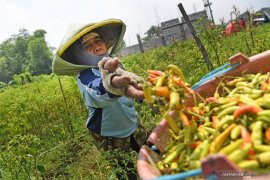 Urban farming diminati warga Surabaya saat pandemi virus corona