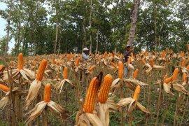 Kawasan Hutan Bojonegoro Panen Jagung
