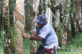 Harga tampung karet petani Aceh Barat naik