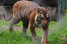 BKSDA turunkan tim terkait laporan harimau berkeliaran di perkampungan
