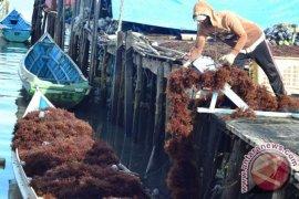 Investor Malaysia berminat bangun pabrik rumput laut di Nunukan