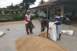 Kelompok tani di Lebak pasok beras lokal ke Jakarta