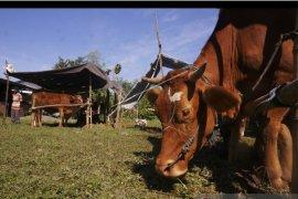 Pekanbaru bantu asuransikan sejumlah ternak petani, begini cara daftarnya