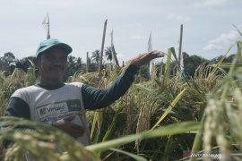 Padi raksasa PIM 1 sukses dikembangkan petani HST