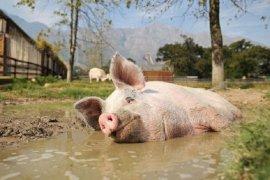 Terkait temuan virus flu babi, Kementan: Kita tak impor dari China