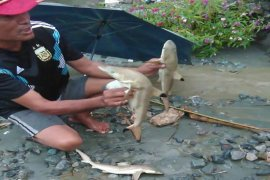 Arkeolog jelaskan asal usul kemunculan hiu pascabanjir Sentani