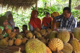Kampung durian Desa Pakis Jember jadi destinasi agrowisata baru