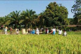 Panen padi petani di Langkat ditargetkan 87.350 hektare